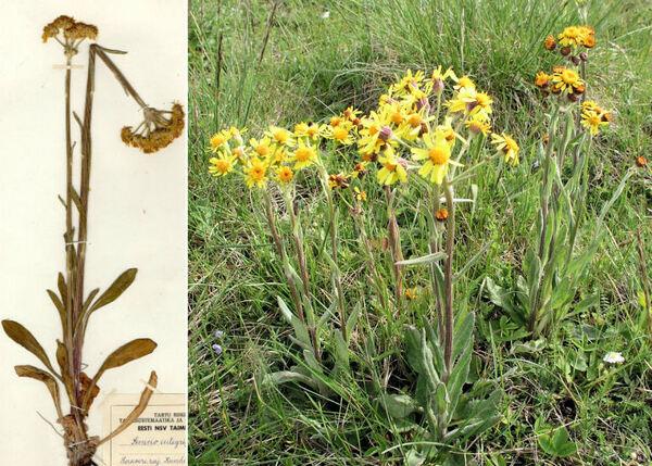 Tephroseris integrifolia (L.) Holub subsp. integrifolia