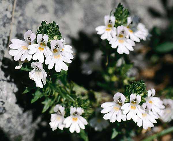 Euphrasia italica Wettst.