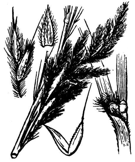Tripidium ravennae (L.) H.Scholz subsp. ravennae