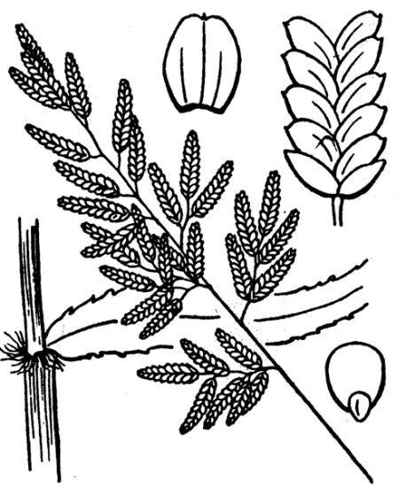 Eragrostis cilianensis (All.) Vignolo ex Janch. subsp. cilianensis