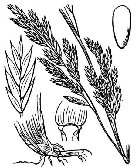Lolium arundinaceum (Schreb.) Darbysh. subsp. arundinaceum