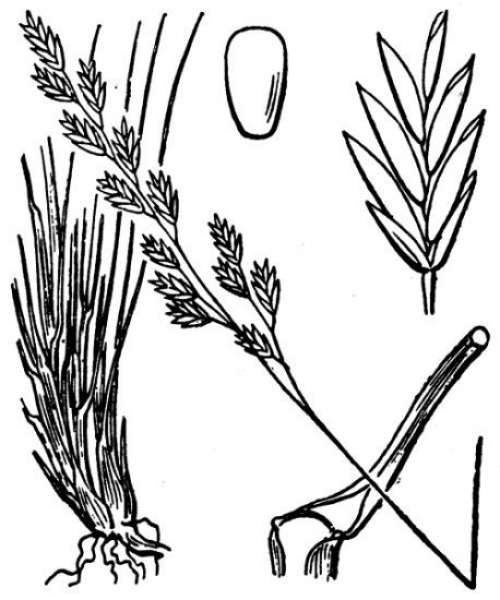Festuca filiformis Pourr.
