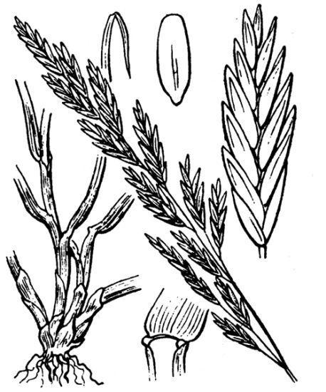 Lolium pratense (Huds.) Darbysh.