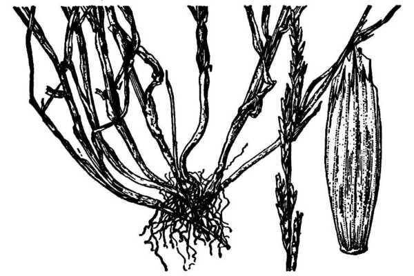 Glyceria declinata Bréb.