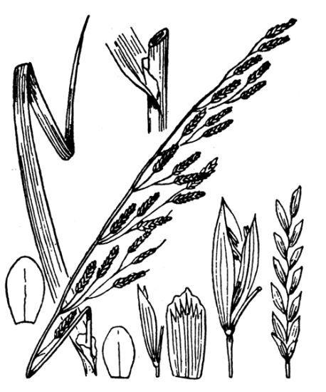 Glyceria fluitans (L.) R.Br.