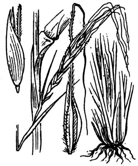 Heteropogon contortus (L.) P.Beauv. ex Roem. & Schult.
