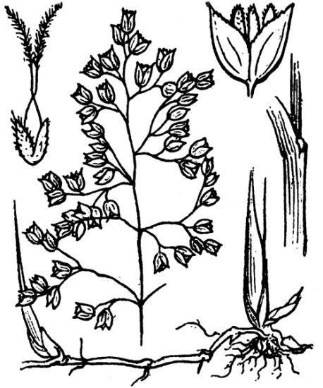 Anthoxanthum nitens (Weber) Y.Schouten & Veldkamp