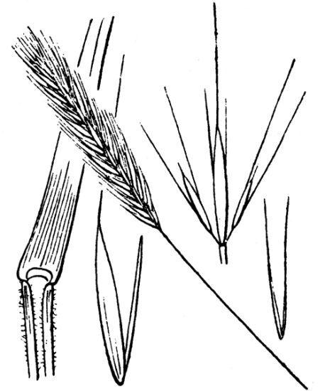 Hordeum secalinum Schreb.