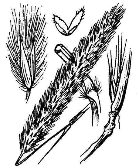 Imperata cylindrica (L.) Raeusch.