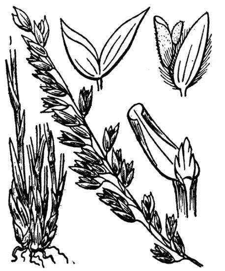 Melica amethystina Pourr.