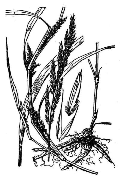 Muhlenbergia frondosa (Poir.) Fernald
