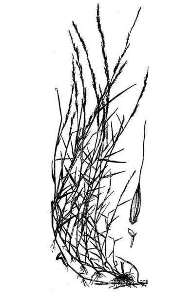 Muhlenbergia schreberi J.F.Gmel.