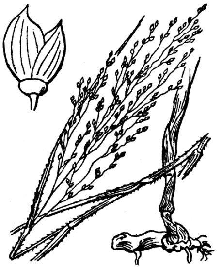 Panicum repens L.