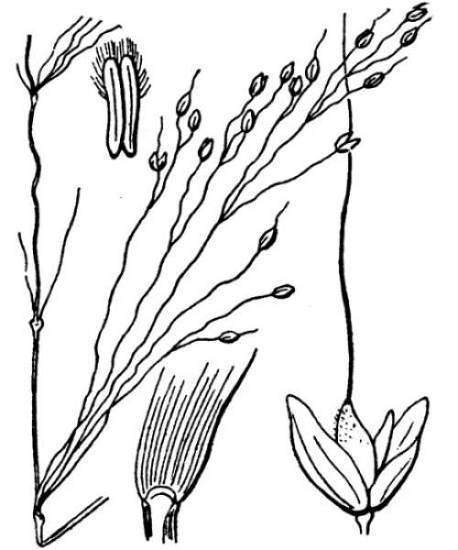 Achnatherum virescens (Trin.) Banfi, Galasso & Bartolucci