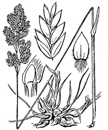 Poa bulbosa L. subsp. bulbosa