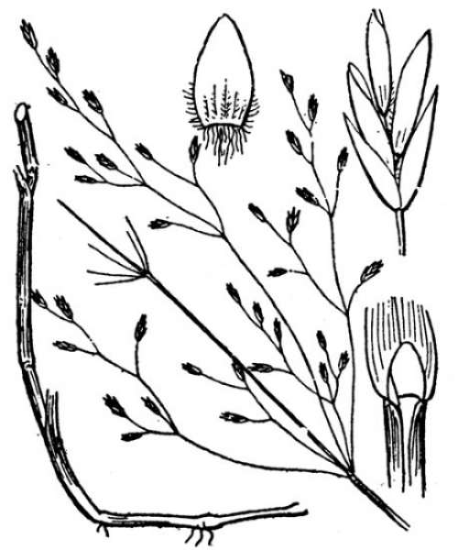 Poa palustris L. subsp. palustris