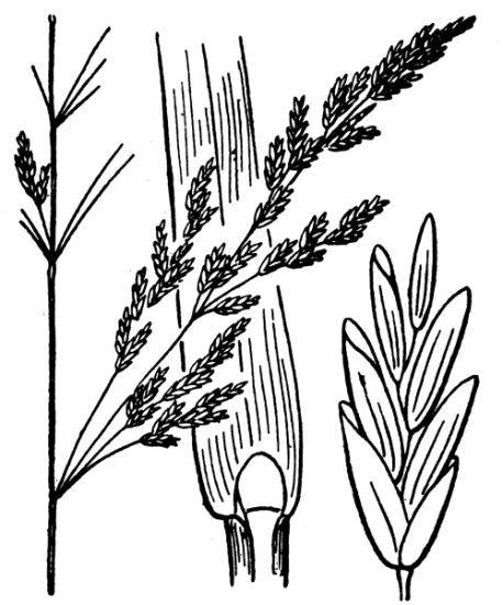 Puccinellia distans (Jacq.) Parl. subsp. distans