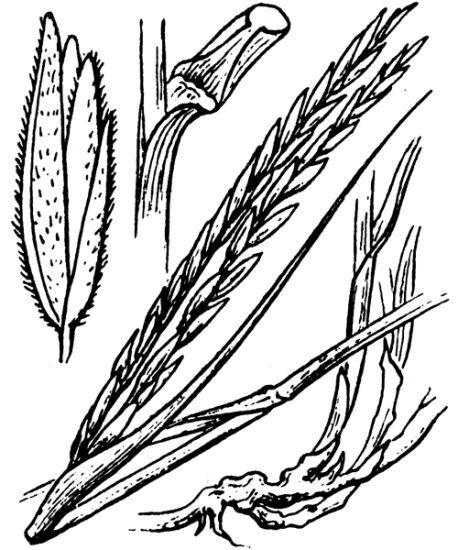 Sporobolus maritimus (Curtis) P.M.Peterson & Saarela