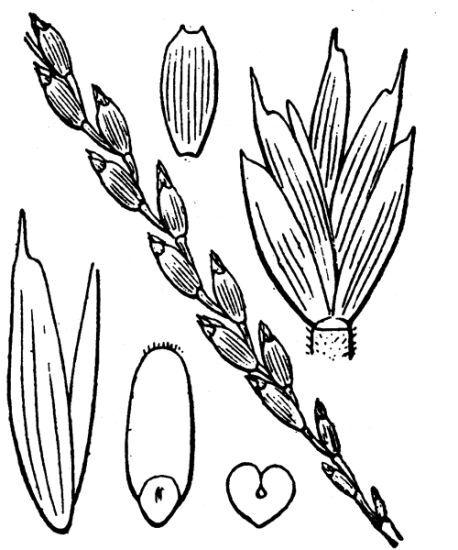 Triticum aestivum L. subsp. spelta (L.) Thell.