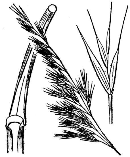 Festuca ligustica (All.) Bertol.