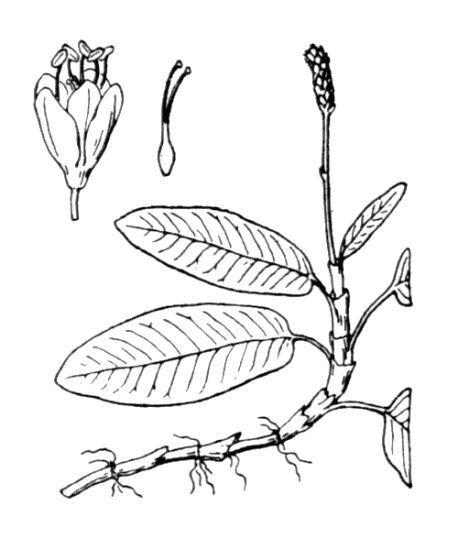 Persicaria amphibia (L.) Delarbre