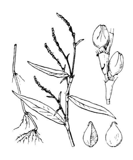 Persicaria mitis (Schrank) Assenov