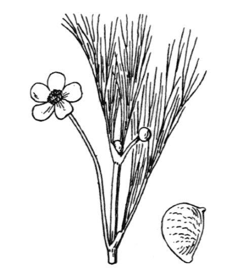 Ranunculus fluitans Lam.