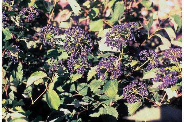 Viburnum dentatum L.