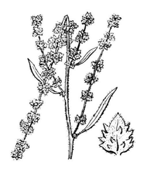 Atriplex littoralis L.