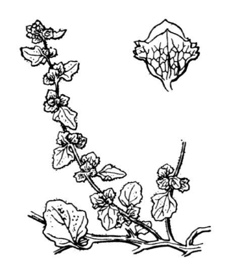 Atriplex tornabenei Tineo ex Guss. subsp. tornabenei