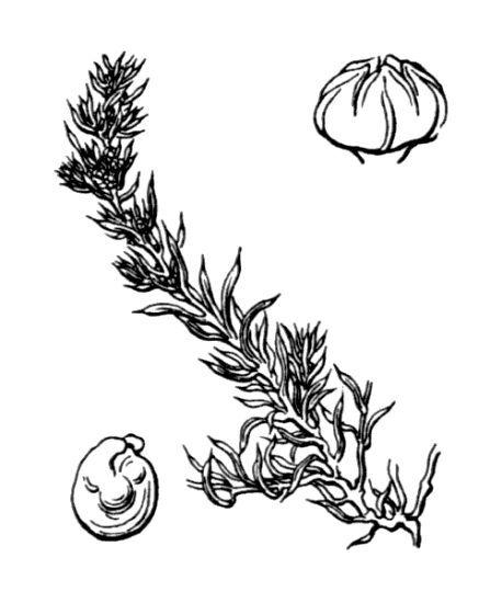 Suaeda splendens (Pourr.) Gren. & Godr.