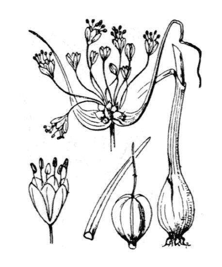 Allium carinatum L.