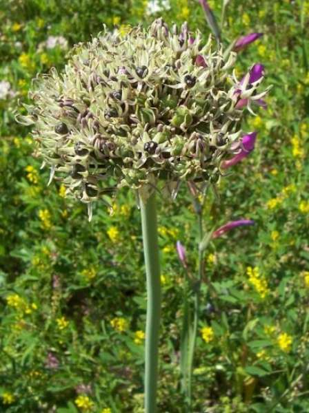 Allium cyrilli Ten.