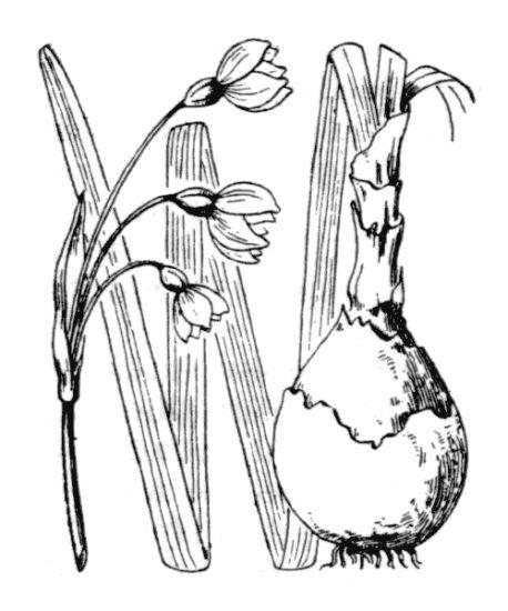 Leucojum aestivum L. subsp. pulchellum (Salisb.) Briq.