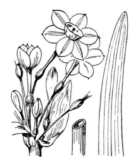 Narcissus tazetta L. subsp. aureus (Loisel.) Baker
