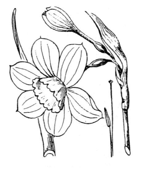 Narcissus ×odorus L.