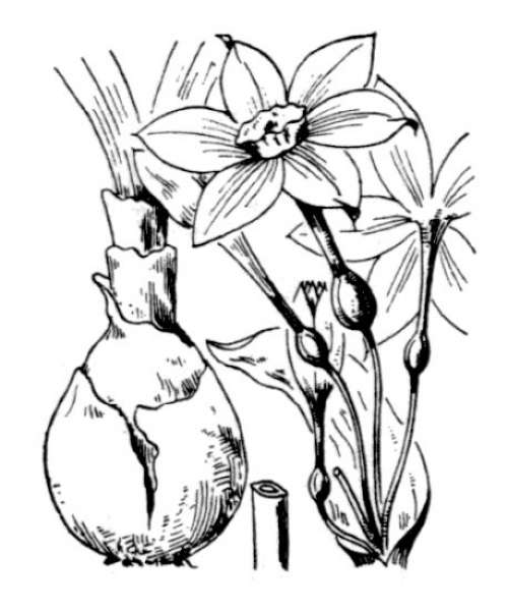 Narcissus papyraceus Ker Gawl.