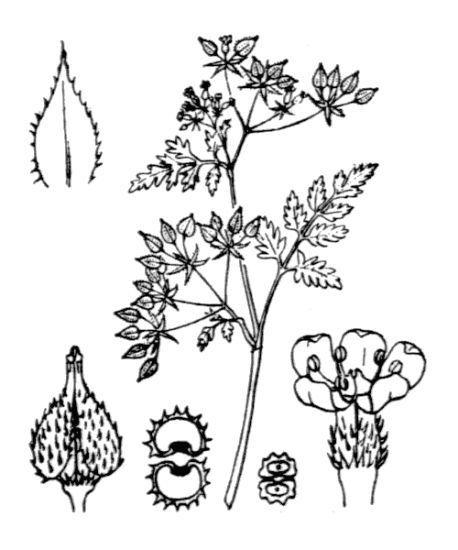 Anthriscus caucalis M.Bieb.