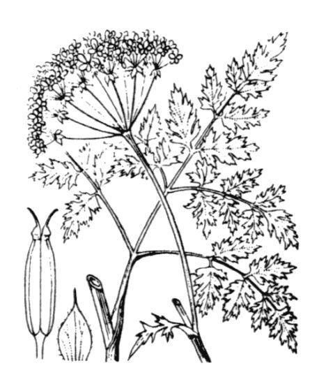 Anthriscus sylvestris (L.) Hoffm. subsp. sylvestris