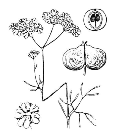 Bifora testiculata (L.) Spreng.