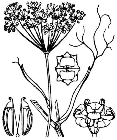 Foeniculum vulgare Mill.