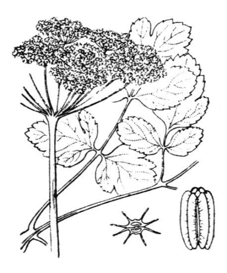 Laserpitium nestleri Soy.-Will.