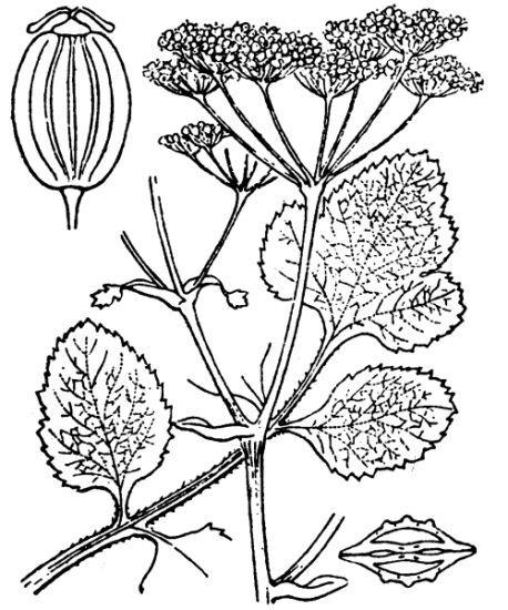 Pastinaca latifolia (Duby) DC.