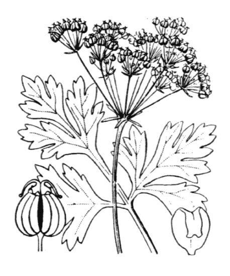 Physospermum cornubiense (L.) DC.
