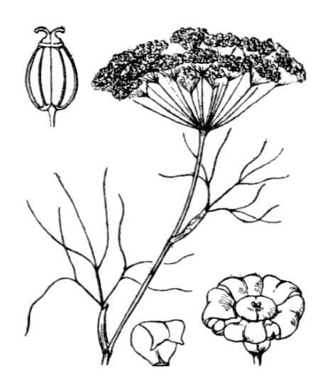 Ridolfia segetum (Guss.) Moris