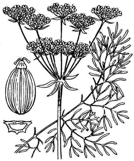 Seseli peucedanoides (M.Bieb.) Koso-Pol.