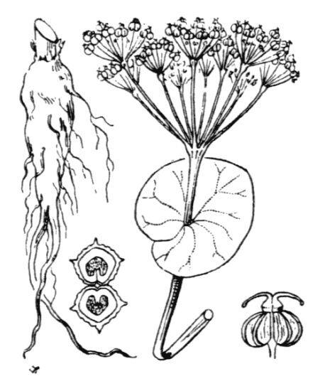 Smyrnium perfoliatum L. subsp. rotundifolium (Mill.) Bonnier & Layens