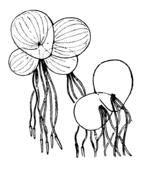 Spirodela polyrhiza (L.) Schleid.