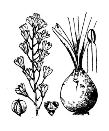 Bellevalia romana (L.) Sweet