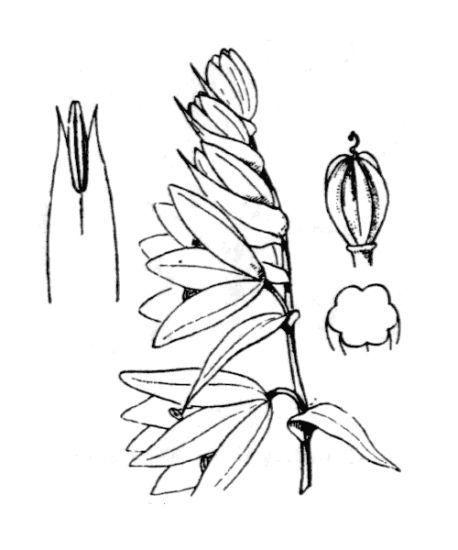 Honorius nutans (L.) Gray